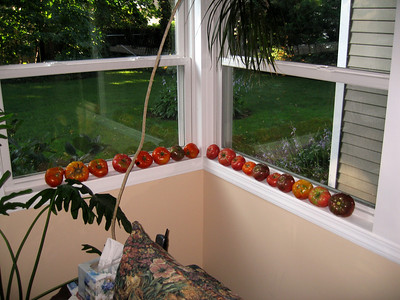 tomatoes ripening in windowsill